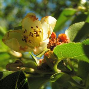 Scheinkamelie Baum Bluete weisslich Stewartia pseudo camellia 05