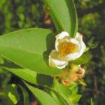 Scheinkamelie Baum Bluete weisslich Stewartia pseudo camellia 07