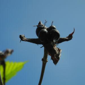 Scheinkerrie Jabukistrauch Frucht schwarz braun Rhodotypos scandens 05