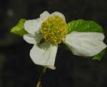 Scheinparrotie Bluete weiss Parrotiopsis jaquemontiana 24
