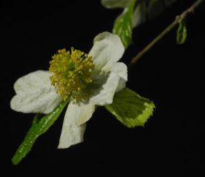 Scheinparrotie Bluete weiss Parrotiopsis jaquemontiana 32