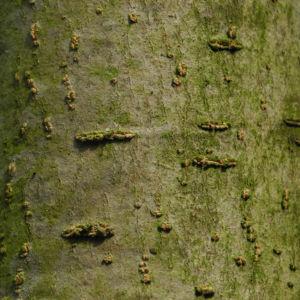 Scheinparrotie Rinde grau Parrotiopsis jaquemontiana 21