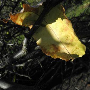 Scheinquite Frucht gelb Chaenomeles speciosa 02