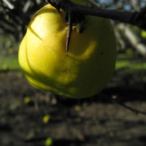 Scheinquite Frucht gelb Chaenomeles speciosa 04