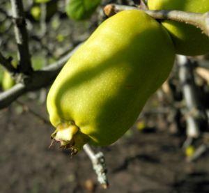 Scheinquite Frucht gelb Chaenomeles speciosa 06