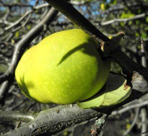 Scheinquitte Frucht gelb Chaenomeles speciosa