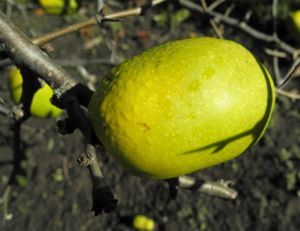 Scheinquite Frucht gelb Chaenomeles speciosa 10