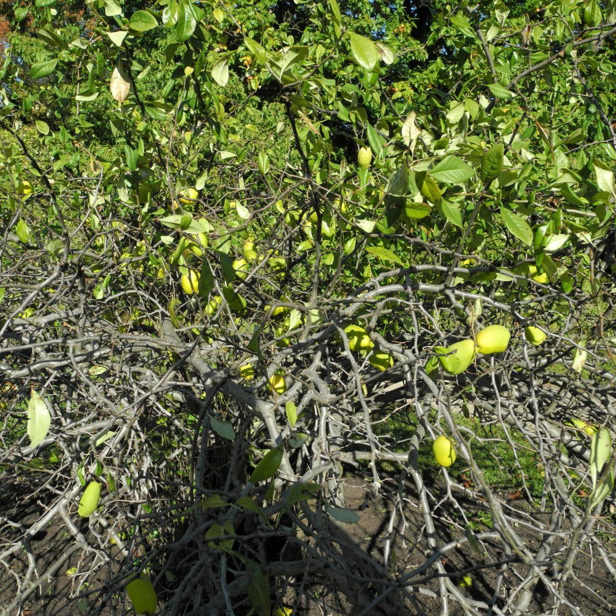Scheinquite Frucht gelb Chaenomeles speciosa
