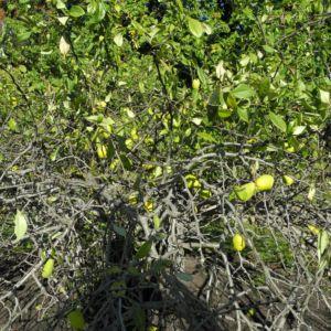 Scheinquite Frucht gelb Chaenomeles speciosa 11
