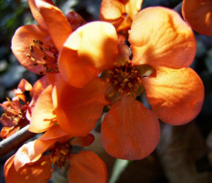 Scheinquitte Bluete rot Chaenomeles speciosa 06