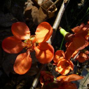 Scheinquitte Bluete rot Chaenomeles speciosa 07