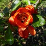 Bild: Scheinquitte Blüte rot Chaenomeles speciosa