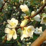 Bild: Scheinquitte Zierquitte Blüte weiß Chaenomeles speciosa
