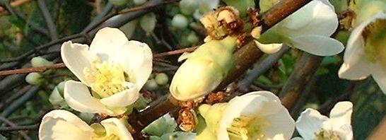 Anklicken um das ganze Bild zu sehen Scheinquitte Zierquitte Blüte weiß Chaenomeles speciosa