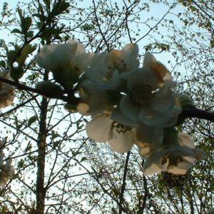 Scheinquitte Zierquitte weiss Chaenomeles speciosa 05