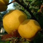 Scheinquitte gelbe Frucht Chaenomeles speciosa 04