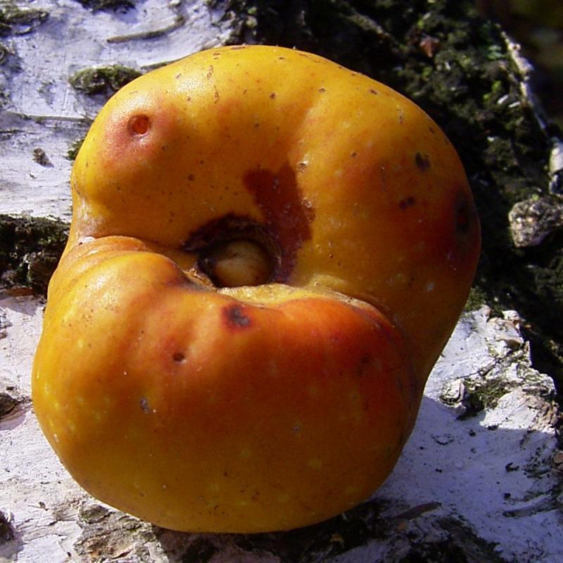 Scheinquitte gelbe Frucht Chaenomeles speciosa