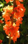 Bild: Scheinquitte Zierquitte Blüte rot Chaenomeles japonica