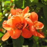 Scheinquitte Zierquitte Blüten rot Chaenomeles japonica 02