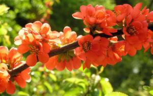 Scheinquitte Zierquitte Blüten rot Chaenomeles japonica 03