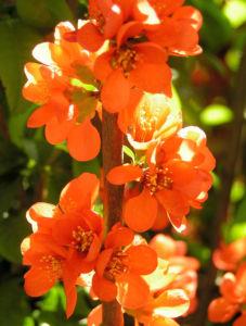 Scheinquitte Zierquitte Blüten rot Chaenomeles japonica 04