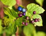 Scheinrebe Wein Frucht blau lila Ampelopsis brevipedunculata 01