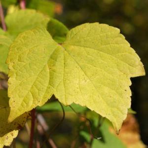 Scheinrebe Wein Frucht blau lila Ampelopsis brevipedunculata 02