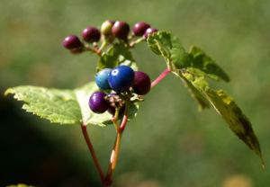 Scheinrebe Wein Frucht blau lila Ampelopsis brevipedunculata 03