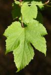 Bild: Scheinrebe Wein Frucht blau lila - Ampelopsis brevipedunculata
