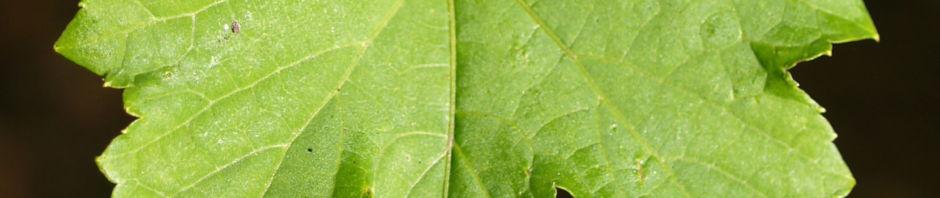 scheinrebe-wein-frucht-blau-lila-ampelopsis-brevipedunculata