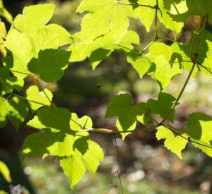 Scheinrebe Wein Frucht blau lila Ampelopsis brevipedunculata 05
