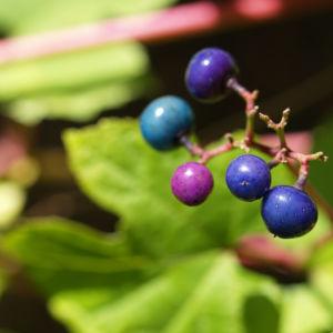 Scheinrebe Wein Frucht blau lila Ampelopsis brevipedunculata 06