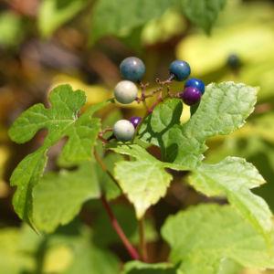 Scheinrebe Wein Frucht blau lila Ampelopsis brevipedunculata 07