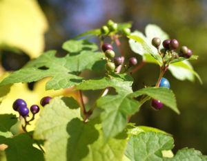 Scheinrebe Wein Frucht blau lila Ampelopsis brevipedunculata 10