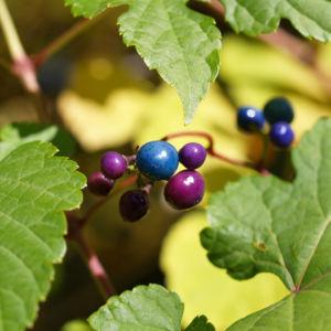 Scheinrebe Wein Frucht blau lila Ampelopsis brevipedunculata 11