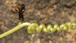 Scheinzaunruebe Frucht rot weiß Diplocyclos palmatus 12
