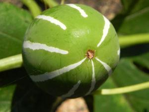 Bild: Scheinzaunruebe Frucht rot weiß Diplocyclos palmatus