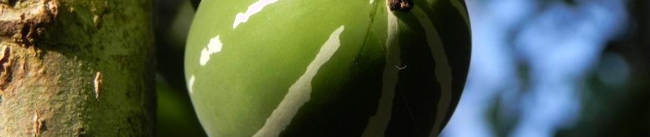 scheinzaunruebe-frucht-rot-gruen-weiss-diplocyclos-palmatus