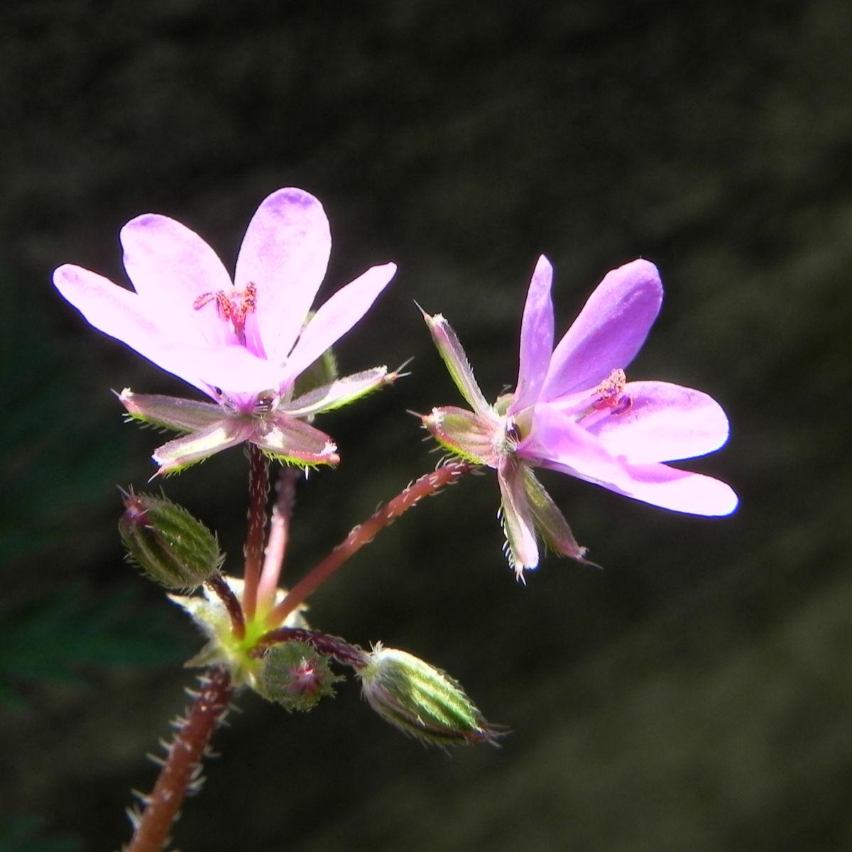 Schierlings Reiherschnabel Bluete pink Erodium cicutarium