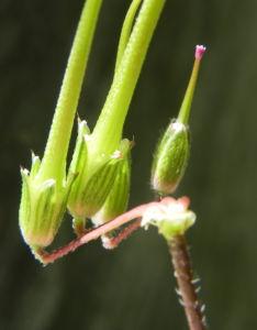 Gewöhnlicher Reiherschnabel Blatt Stängel grün Blüte pink Erodium cicutarium