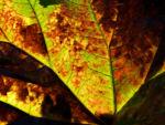 Schildblatt Blaetter gruen Peltiphyllum peltatum 01