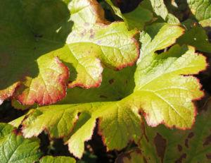 Schildblatt Blaetter gruen Peltiphyllum peltatum 02
