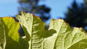 Schildblatt Blaetter gruen Peltiphyllum peltatum 03