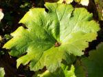 Schildblatt Blaetter gruen Peltiphyllum peltatum 04