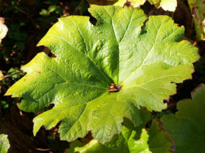 Bild: Schildblatt Blaetter gruen Peltiphyllum peltatum