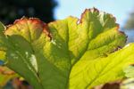 Schildblatt Blaetter gruen Peltiphyllum peltatum 05