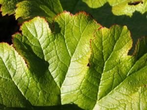 Schildblatt Blaetter gruen Peltiphyllum peltatum 07