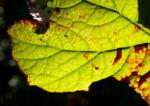 Schildblatt Blaetter gruen Peltiphyllum peltatum 09