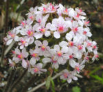 Schildblatt Bluete rose Darmera peltata 01