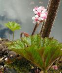 Schildblatt Bluete rose Darmera peltata 04